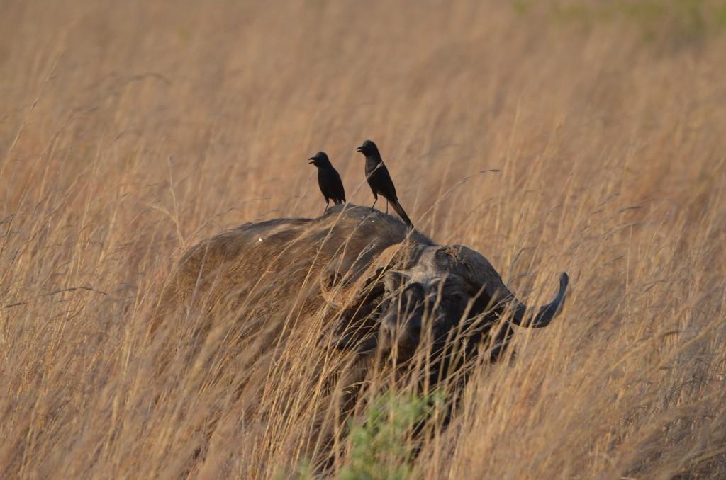 Die größte Herde afrikanischer Büffel lebt im Kidepo-Nationalpark